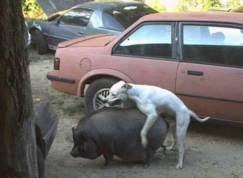 dog_humping_pig